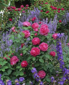 Roses, campanulas, and purple flowers in a border at Mottisfont Abbey  ©NTPL/Neil Campbell-Sharp