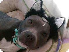 5/7/16 sl!!!    04/10/16 SL~~~Sacramento, CA - Pit Bull Terrier. Meet KAT, a dog for adoption. http://www.adoptapet.com/pet/14510994-sacramento-california-pit-bull-terrier