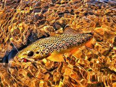 Photo of Brown trout taken by Jim Liddicoat   Fly dreamers