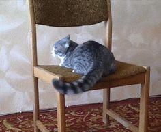 Gymnast Cat -  so sind Katzen - und niemand weiß warum