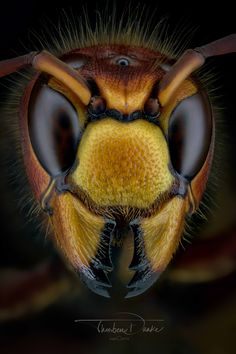 Hornet portrait - 174 shots stacked