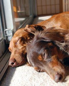 Sleepy dachshunds.