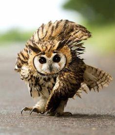 Street Strolling Owl