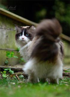 tri color fluffy cat