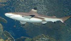 Sharks are too often perceived as bloodthirsty killers in the human world, but these 5 least dangerous shark species prove the stereotype to be untrue. Shark Jaws, Reef Shark, Shark Swimming, Shark Pictures, Animal Pictures, Shark Facts For Kids, Different Types Of Sharks, Black Tip Shark, Cuba