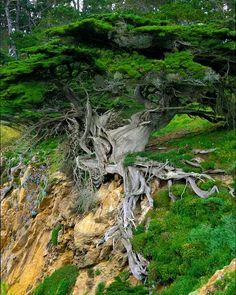 Old Veteran Cypress, Point Lobos