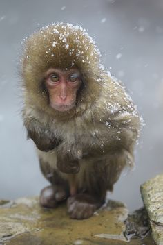 Baby Snow Monkey ~ By Masashi Mochida Cut Animals, Cute Baby Animals, Animals And Pets, Primates, Mammals, Animals Beautiful, Beautiful Creatures, Baby In Snow, Pet Monkey