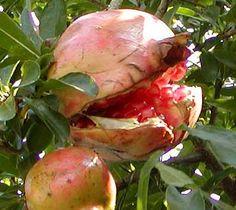 Pomegranate, Potatoes, Vegetables, Food, Grenada, Potato, Hoods, Vegetable Recipes, Meals