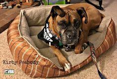 Meet Kirby Peabody, a Petfinder adoptable Boxer Dog in Seattle, WA | Petfinder.com