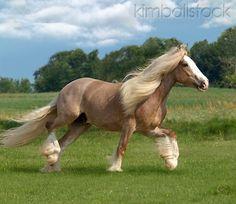 HOR 01 MB0078 01 - Gypsy Vanner Horse Stallion Trotting In Pasture - Kimballstock