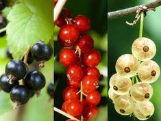 Types Of Berries, Acai Berry, Garden Design, Raspberry, Fruit, Healthy, Food, Blood Vessels, Compost
