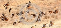 Photo about Sand grouse taking to the air in the Kalahari. Image of action, banded, scene - 26867473 Grouse, Birds In Flight, Southern, Africa, Scene, Stock Photos, Image, Afro