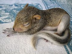Bébé écureuil fait sa sieste