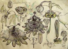 8-passiflora-caerulea-simerie-sfera-vortex.jpg - Рисунок ©2014 - Gabriel Kelemen -