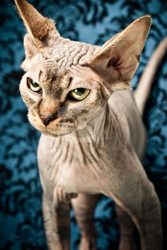 vertical cat pictures   angry looking hairless cat stock photo, An angry looking hairless cat ...