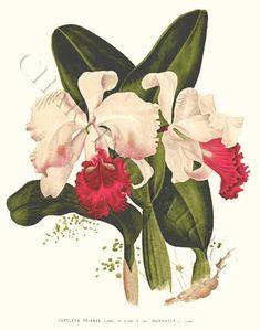 Cattleya trianae Orchid Art Print.$19.95