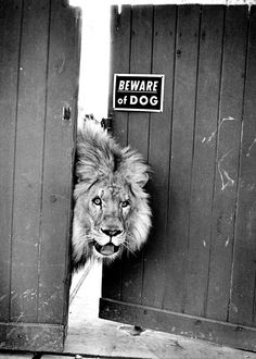 """Photographie amusante - animaux sauvage [amusing animal photography] *[article: 90 black & white photography ideas to decorate your walls] {Lion- """"Beware of Dog"""" sign} [image credit: Archzine FR] Animals And Pets, Funny Animals, Cute Animals, Wild Animals, Baby Animals, Amazing Animals, Animals Beautiful, Big Cats, Cats And Kittens"""