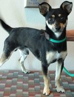 Frodo is an adoptable Chihuahua Dog in Rohnert Park, CA. On a quest for a jolly companion? Meet Frodo, a lighthearted guy with a love of adventure and a sweet way with people. Frodo is affectionate, c...