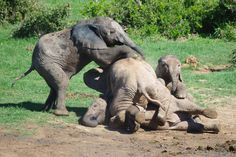 A herd of young elephants bundle on top of each other at the Addo Elephant National Park in Eastern Cape, South Africa
