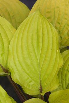 Fire Island: Med size hosta, green-yellow leaves, red stems, dark purple flowers