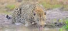 Kruger National Park - South African Safari and Lodging Guide Parc National Kruger, Kruger National Park Safari, National Parks, Beautiful Cats, Animals Beautiful, Cute Animals, Wild Animals, African Animals, African Safari