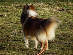 Best Small Dog Breeds, Best Small Dogs, Shetland Sheepdog, Sheltie, Countryside, Corgi, Wikimedia Commons, Animals, Beautiful