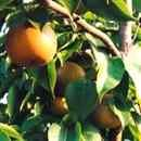 TyTy Mature Fruit Trees