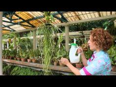 No segundo vídeo da série especial sobre cultivo de Vandas, feita em parceria com o Vandário Mokara, a jornalista Carol Costa mostra como regar corretamente ...