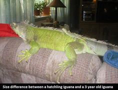 Interesting facts about Iguanas! Read here:  http://gdurl.tk/ER