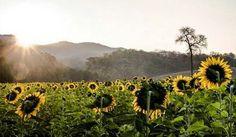 Tha-I-bun sunflower 10