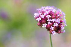 lila Spornblume