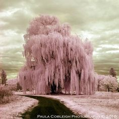Weeping willow tree - Title Infrared Pink Silly string tree - by La-Vita-a-Bella - DIP= Digital Infrared Photography Infrared Photography, Tree Photography, Beautiful World, Beautiful Places, Beautiful Pictures, Trees Beautiful, Pink Trees, Surrealism Photography, All Nature