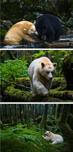 Spirit bear and black bear, living in harmony. So Gorgeous