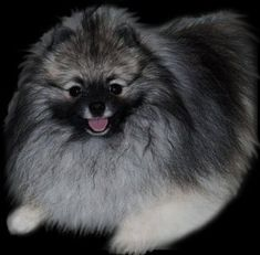 Pomeranians from Showin Poms Wolf Sable Pomeranian, Wolf Cry, Shadow Wolf, Big Bad Wolf, Pomeranians, Hush Puppies, Cry Baby, Baby Dogs, Animal