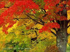 The Sugar Maple Acer Saccharum