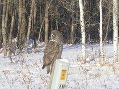 Great Grey Owl of Prey Nocturne, Strix Nebulosa, Great Grey Owl, Owl House, Gray Owl, Wise Owl, Birds Of Prey, Kingfisher, Raptors