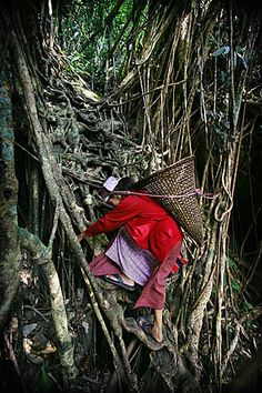 Khasi woman ascending a living root bridge in Bangladesh.  Pic: Copyright Timothy Allen. http://www.humanplanet.com