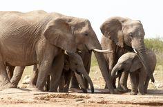 Os elefantes africanos são listados como vulneráveis pela União Internacional para Conservação da Natureza. Os animais são caçados por suas presas de marfim. Foto: PNUMA/ Peter Prokosch