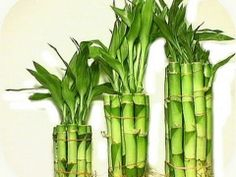 Hoshin Trading LLC is specialized in Lucky Bamboo, Money Tree ,indoor plants such as Dracaena Massangeana,flowers, Las Vegas. Bamboo House Plant, Bamboo Plants, Green Plants, Indoor Plants, House Plants, Potted Plants, Garden Shrubs, Garden Planters, Planting Succulents