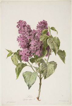 Image result for lilac botanical drawing