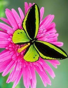 Mariposa verde vivo sobre una flor rosada viva | Bright green butterfly atop a bright pink flower