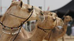 Camel festival in the UAE Arabic Art, Camels, Uae, Photo Galleries, Horses, Culture, Gallery, Caravans, Animals
