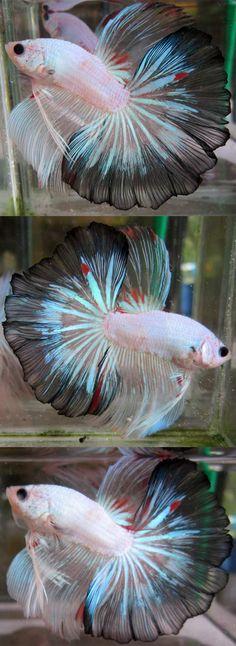 fwbettashm1437061952 - fancy hm male (P401)