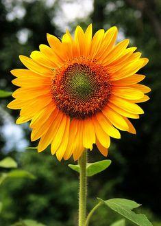 Beautiful Flowers Garden: Beautiful sunflower