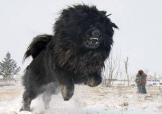 Caucasian Shepherd Dog aka Russian Bear Dog - bred to hunt bears Mastiff Breeds, Mastiff Puppies, Giant Dog Breeds, Giant Dogs, Doberman Pinscher, Pet Dogs, Dogs And Puppies, Pets, Doggies