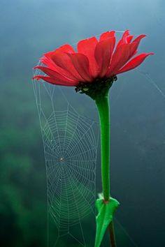 Spider web on flower Spider Silk, Spider Art, Spider Webs, Zinnias, Wonders Of The World, Mother Nature, Flower Power, Beautiful Flowers, Scenery