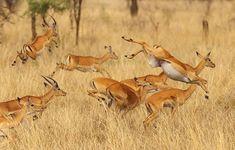 impala animal jumping - 500×319