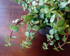 Elephant Plant (Portulacaria), Succulent Care, Maintenance and Propagation.  SUPER easy to Propagate! Great for a beginner!