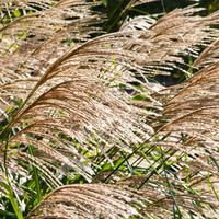 Miscanthus Sinensis 'Silberfeder', Maiden Grass 'Silberfeder', Eulalia 'Silberfeder', Chinese Silver Grass 'Silberfeder', Japanese Silver Grass 'Silberfeder', 'Silver Feather' Maiden Grass, Low maintenance grasses, Low maintenance plants