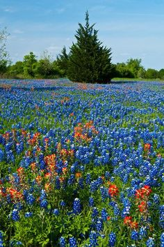 Texas bluebonnets and indian paintbrush wildflowers in the meadows near Brenham, Texas, USA.